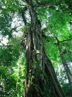 Ancient Costa Rica Tree